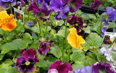 Pansies have arrived!